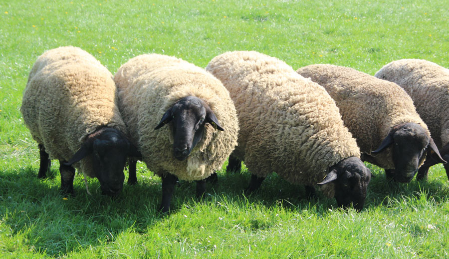 mouton suffolk sur herbe