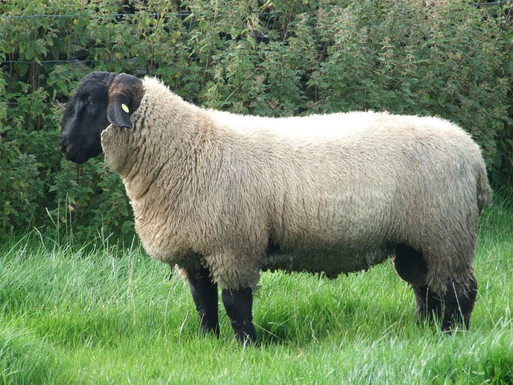 mouton souffolk