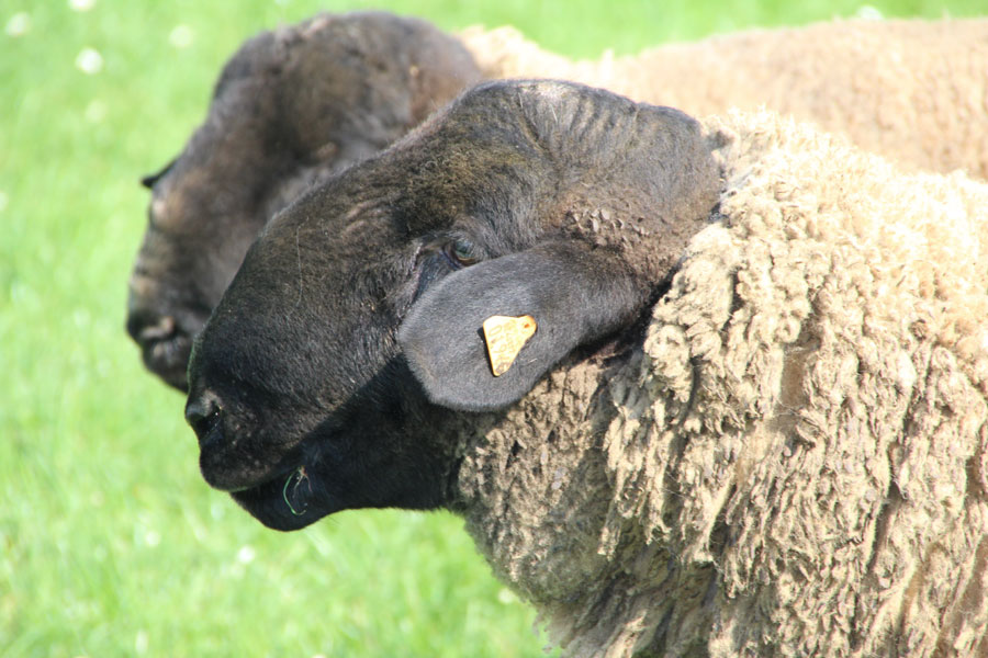 tête mouton suffolk