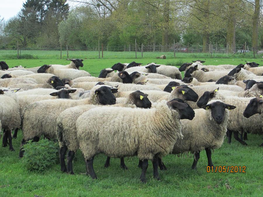 troupeau mouton suffolk